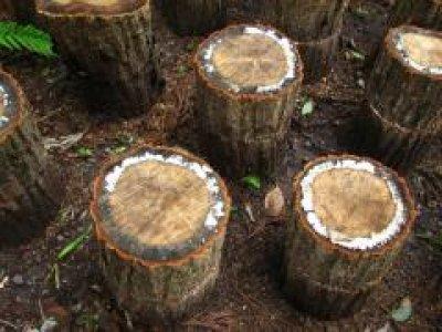 画像2: 原木ジャンボなめこ完熟ホダ木(短木栽培)