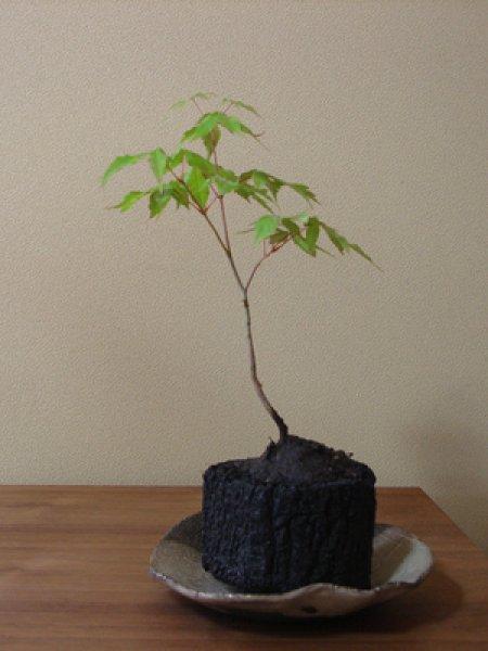 画像1: 大山もみじ炭盆栽 (1)