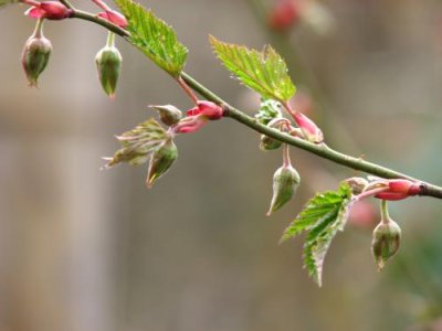 画像1: ナガバモミジイチゴ(長葉紅葉苺)苗