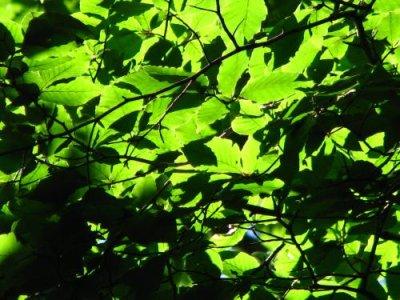 画像2: ブナノキ(橅の木)苗