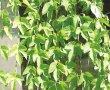画像2: グリーンカーテン・ホップ苗2鉢セット (2)