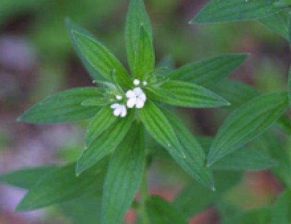 画像1: 日本ムラサキ(日本紫)栽培キット (1)