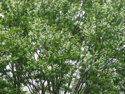 画像1: ウワミズザクラ(上溝桜)苗