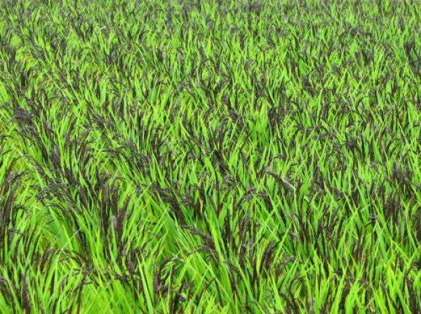 画像1: 古代米(黒米)栽培キット (1)