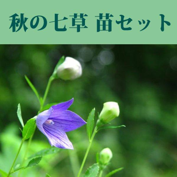 画像1: 秋の七草苗7点セット (1)