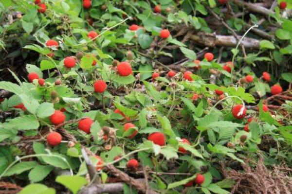 画像1: クサイチゴ(草いちご)苗2株セット (1)