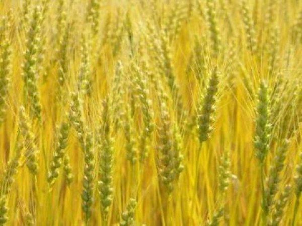 画像1: 小麦 農林61号種子 (1)