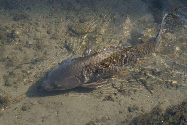 画像1: クロコイ幼魚(黒鯉幼魚) (1)