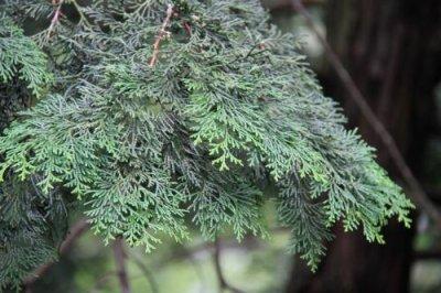 画像1: ヒノキ(檜) 切花(枝葉)