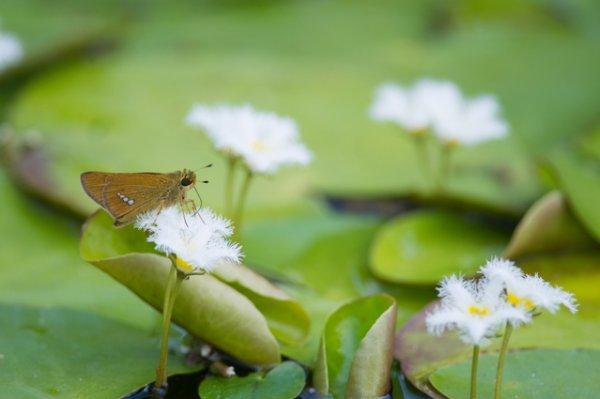 画像1: 水生植物 ガガブタ小苗2鉢セット (1)