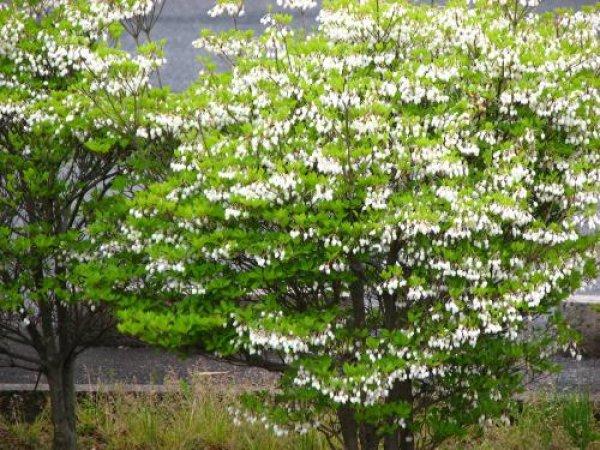 画像1: 白花ドウダンツツジ苗 (1)