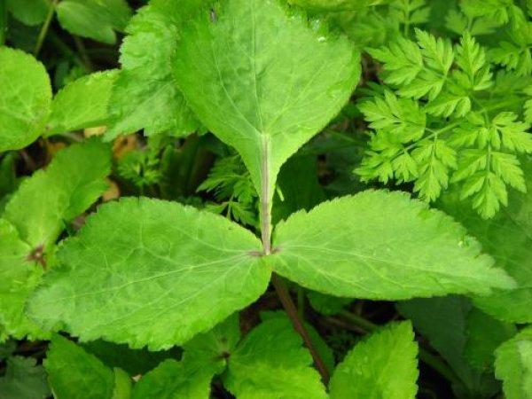 画像1: ヤマミツバ(山三つ葉)寄せ植え (1)