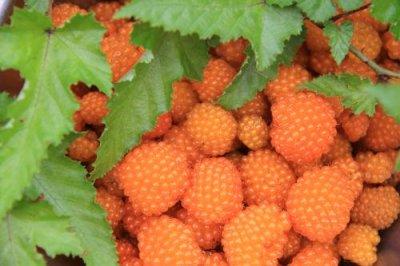 画像3: ナガバモミジイチゴ(長葉紅葉いちご)種子
