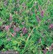 画像1: 緑肥 ヘアリーベッチ種子 1kg (1)