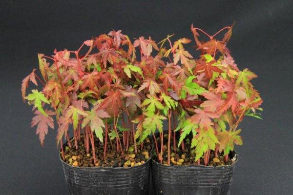 画像1: モミジ小苗寄せ植え2鉢セット (1)