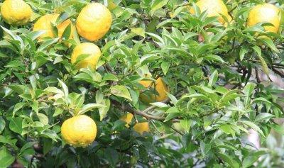 画像2: 大山の柚子&桑の実ジャム 150g