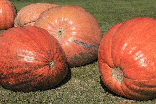 画像1: ジャンボかぼちゃ アトランティックジャイアント苗  (1)