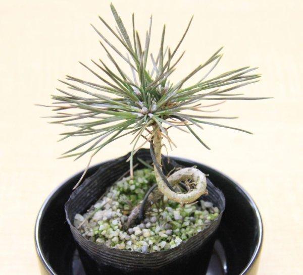 画像1: クロマツ(黒松)盆栽用小苗 (1)