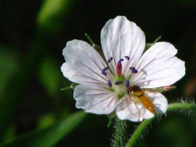 画像3: ゲンノショウコ(現の証拠)寄せ植え