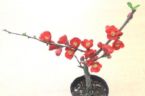 画像1: ボケ(木瓜)盆栽用小苗 (1)