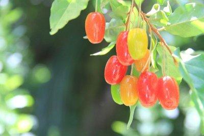 画像3: 木の実のアイス2種セット (桑の実アイス、夏ぐみアイス各6個入)