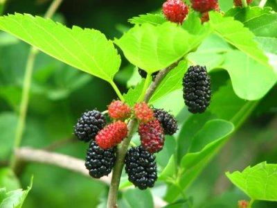 画像2: 木の実のアイス2種セット (桑の実アイス、夏ぐみアイス各6個入)