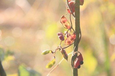 画像1: トキリマメ(吐切豆)種子