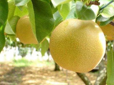 画像2: 大山の梨&柚子ジュース