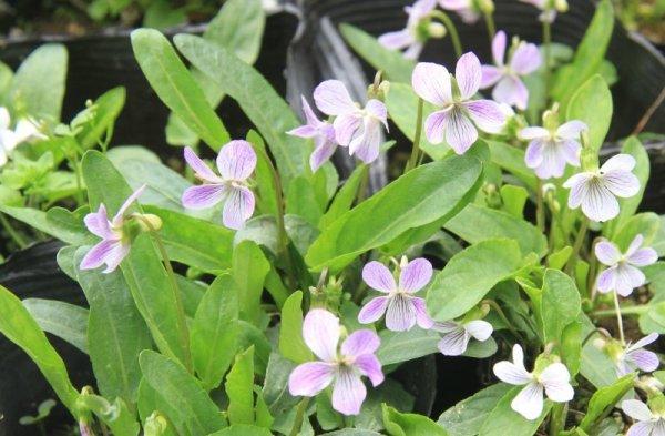 画像1: 白花スミレ(菫)苗2鉢セット (1)