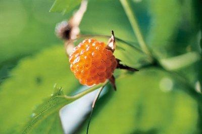 画像3: カジイチゴ(梶苺)小苗2株セット
