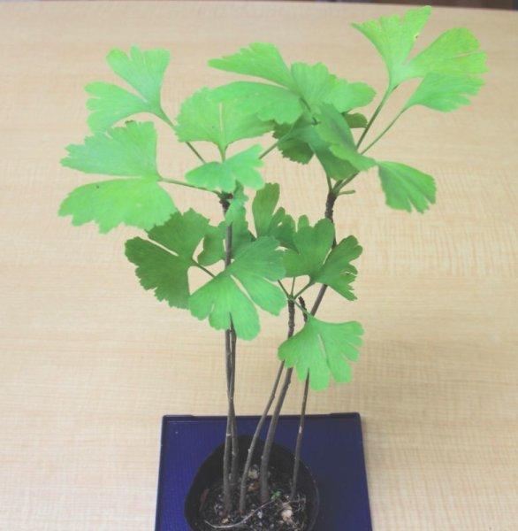 画像1: イチョウ(銀杏)小苗寄せ植え (1)