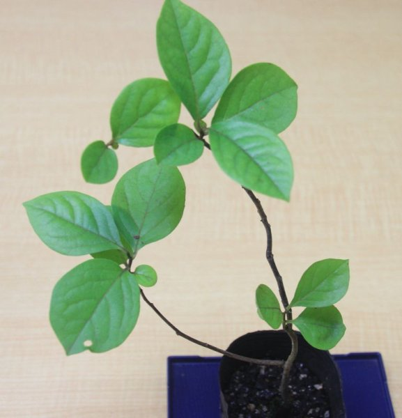 画像1: 山柿(盆栽向け)小苗 (1)