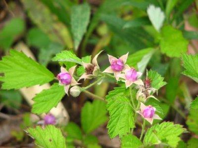 画像1: ナワシロイチゴ(苗代いちご)寄せ植え