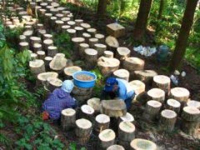 画像1: 原木ジャンボなめこ完熟ホダ木(短木栽培)