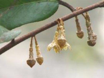 画像1: ツルグミ(蔓茱萸)苗