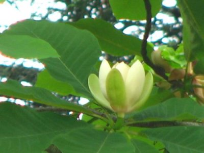 画像2: ホオノキ(朴の木)苗