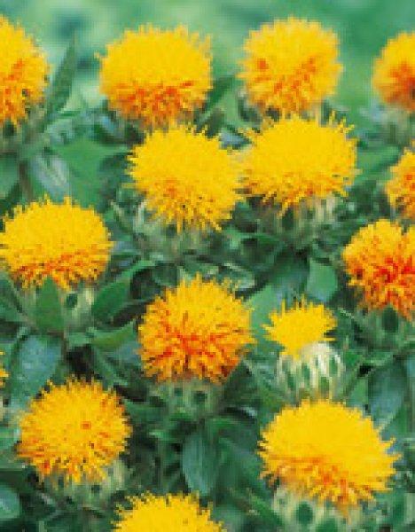 画像1: ベニバナ(カルタムス丸葉赤花)種 1dL (1)