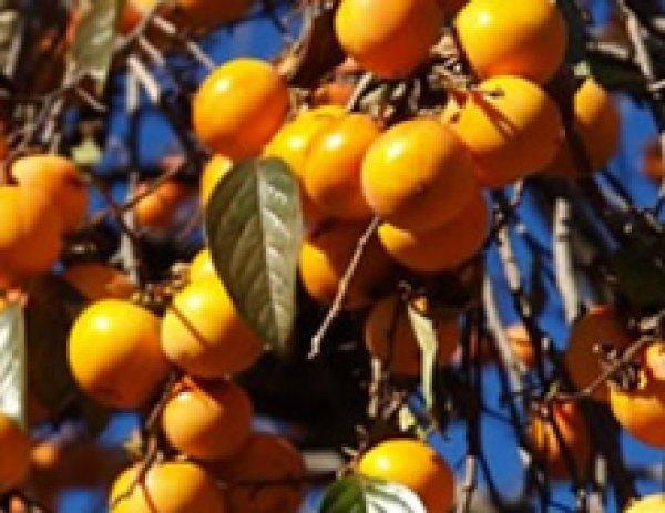画像1: 柿渋(かきしぶ)液- 天然染料(草木染め)- (1)