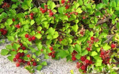 画像3: ナワシロイチゴ(苗代いちご)寄せ植え