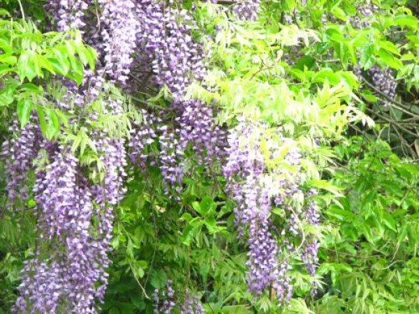 画像1: 紫花フジ(藤)小苗2鉢セット (1)
