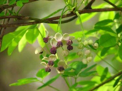 画像1: ゴヨウアケビ(五葉木通)種子 1mL