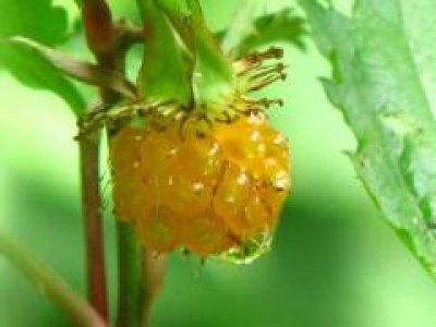 画像3: モミジイチゴ(紅葉苺)苗
