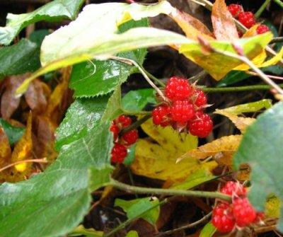 画像2: ミヤマフユイチゴ(深山冬いちご)寄せ植え