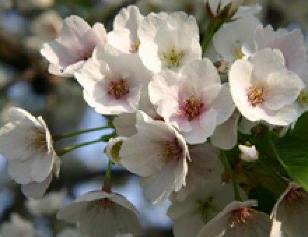 画像1: 桜(さくら)- 天然染料(草木染め)- (1)