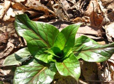 画像2: ウバユリ(姥百合)種子