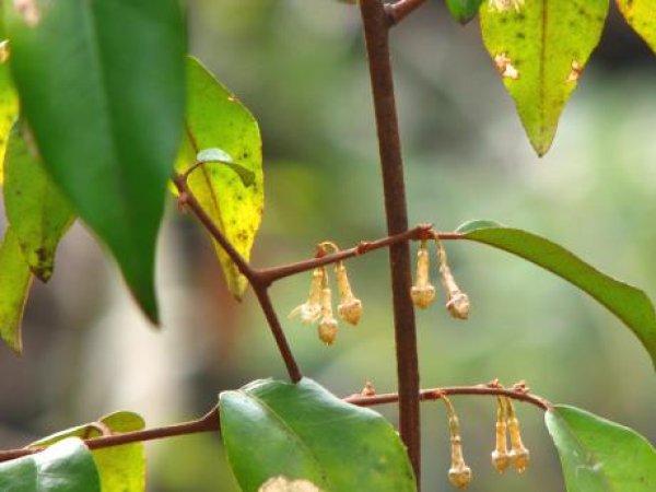 画像1: ツルグミ(蔓茱萸)苗 (1)
