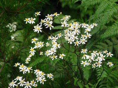 画像1: シラヤマギク(白山菊)種子 1mL