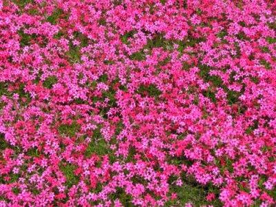 画像1: 芝桜苗5株セット