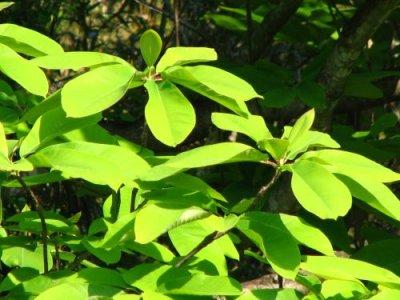 画像1: ホオノキ(朴の木)苗