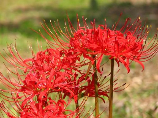 画像1: ヒガンバナ(彼岸花)苗2鉢セット (1)